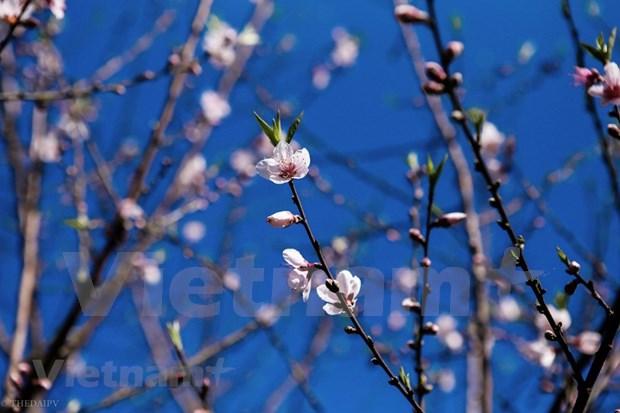 组图:越南山罗省木州县李子花齐放迎新春 hinh anh 15