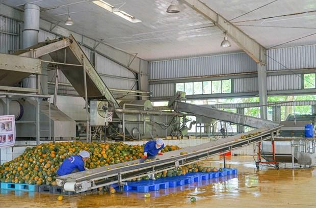 组图:同交农场的菠萝加工出口流程的情景 hinh anh 2