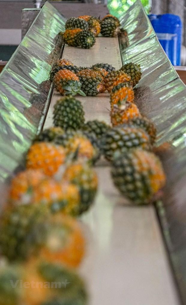 组图:同交农场的菠萝加工出口流程的情景 hinh anh 3