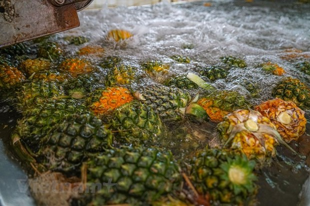 组图:同交农场的菠萝加工出口流程的情景 hinh anh 4