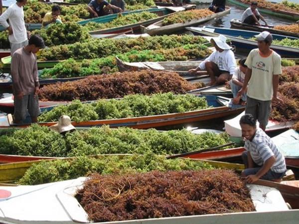 印尼可能将成为世界最大海藻生产国 hinh anh 1