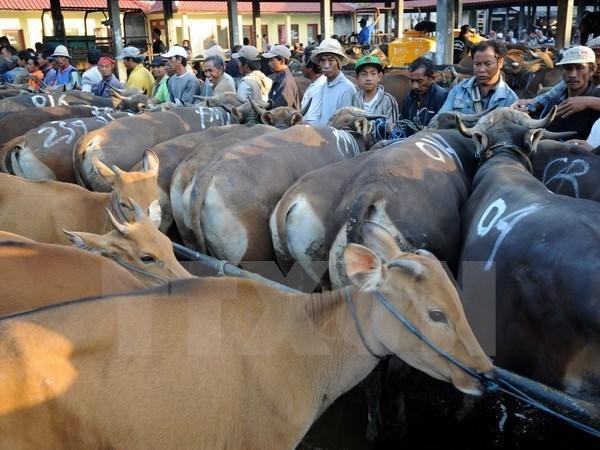 越南是澳大利亚第二大活家畜出口市场 hinh anh 1