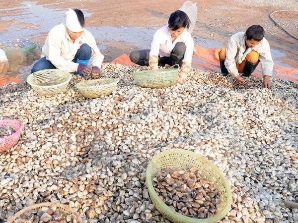 越南双壳类软体动物出口潜力巨大 hinh anh 1