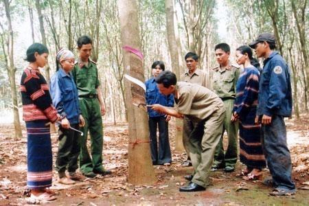 越南西原地区橡胶树种植面积占全国的26% hinh anh 1