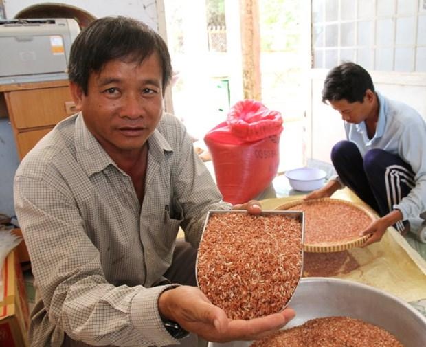 越南独有的药物大米大受欧洲客户欢迎 hinh anh 1