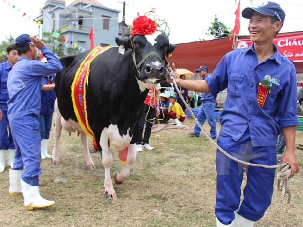2015年越南木州奶牛选美大赛五岁奶牛夺冠 hinh anh 1