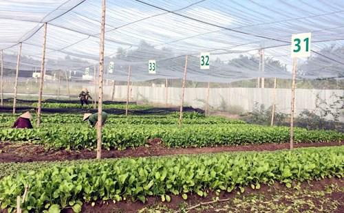 越南首个蔬菜农场荣获美国和欧盟的有机认证标准 hinh anh 1