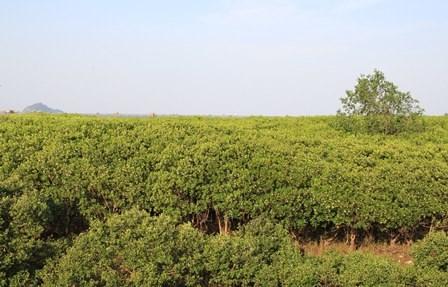 越南清化省大力推进红树林种植 抵抗自然灾害 hinh anh 1