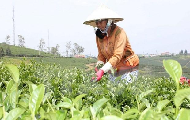 2015年越南出口茶叶约13万吨 hinh anh 1