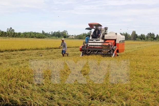 2015年越南水稻总产量约达4520万吨增加20万吨 hinh anh 1