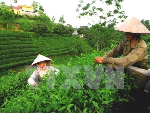 宣光省采用越南良好农业规范认证标准生产茶叶 hinh anh 1