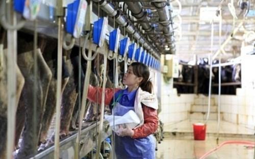 越南在俄展开工业规模化奶牛养殖及乳制品加工项目 hinh anh 1
