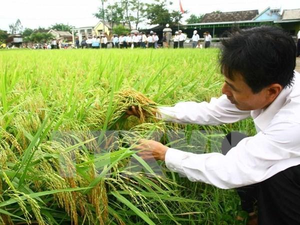 2016年越南水稻种植面积将减少10万公顷 hinh anh 1