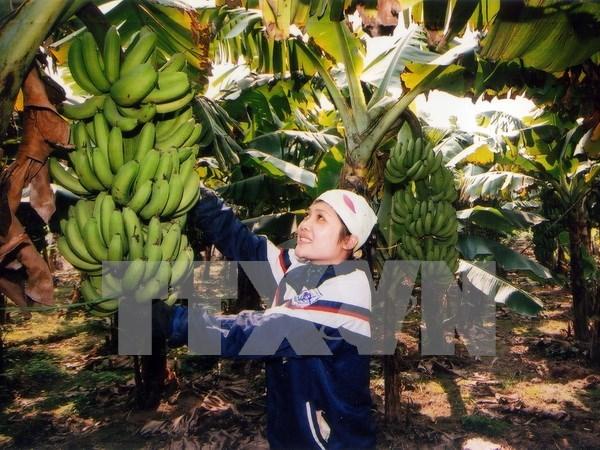 越南兴安省快州香蕉获得集体商标保护证书 hinh anh 1