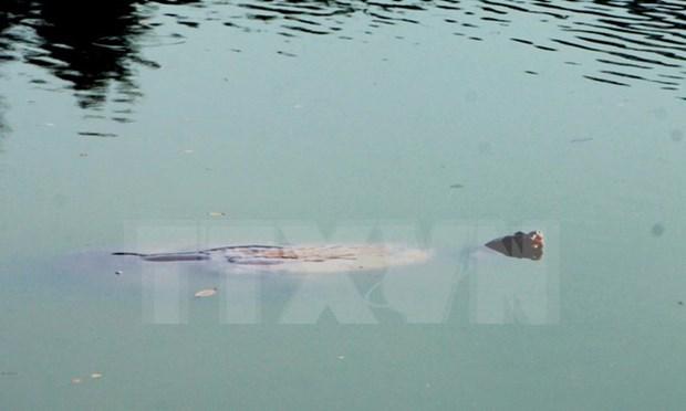 越南还剑湖巨龟尸体被送到越南自然博物馆 hinh anh 1