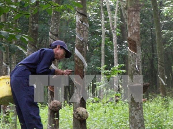 东南亚橡胶主产国决定减少天然橡胶出口量 hinh anh 1