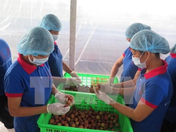 海阳省扩大出口荔枝的生产规模 hinh anh 1