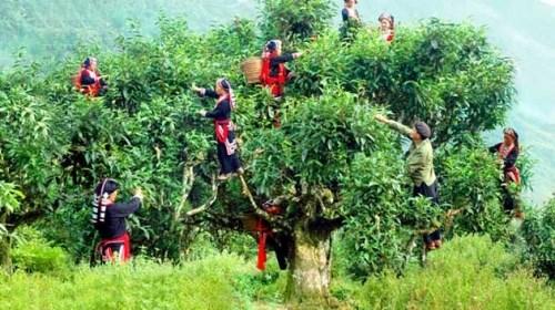 越南安沛省400棵古老山雪茶树被列入越南遗产树名单 hinh anh 3