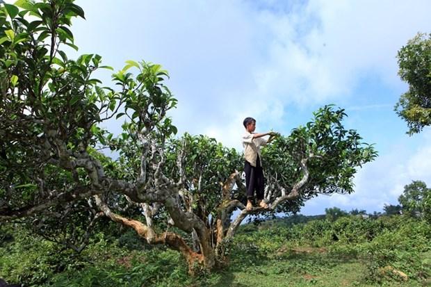 越南安沛省400棵古老山雪茶树被列入越南遗产树名单 hinh anh 2