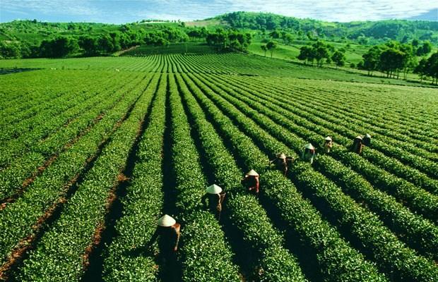河江省力争使茶树成为尖端农作物 hinh anh 1