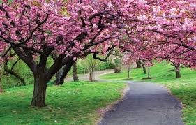 樱花——越日两国人民友好合作关系的象征 hinh anh 1