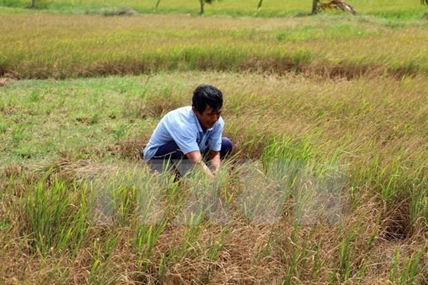 越南九龙江三角洲多地遭旱灾和海水入侵 金瓯省陷入一级干旱 hinh anh 4