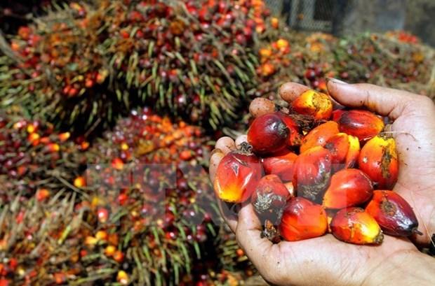 马来西亚棕榈油价格或将再上涨 hinh anh 1