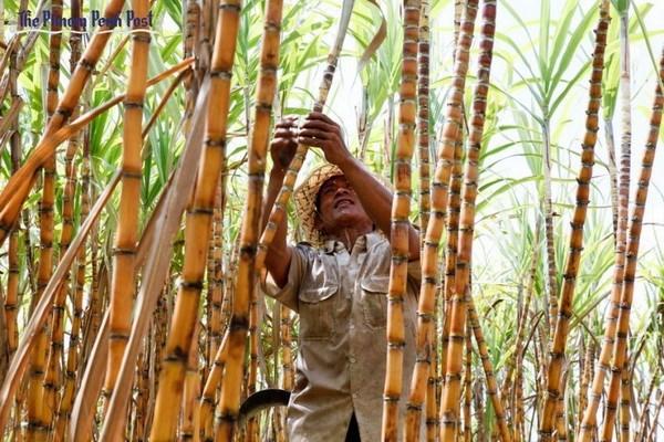 柬埔寨投建亚洲最大制糖厂竣工 hinh anh 1
