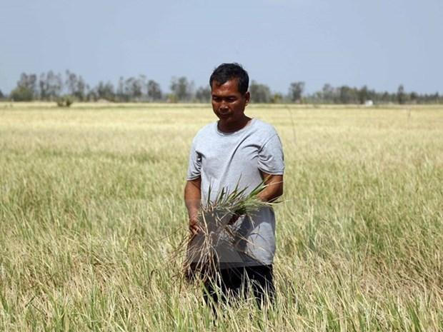 气候变化使越南南部6000公顷水稻遭受损失 hinh anh 1