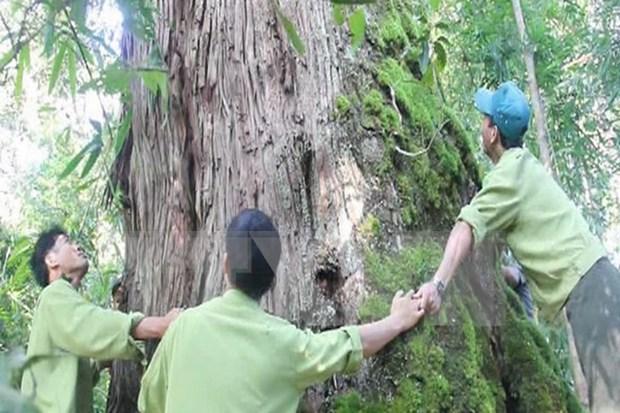 越南广南省725棵福建柏被列入国家古树名木名录 hinh anh 1