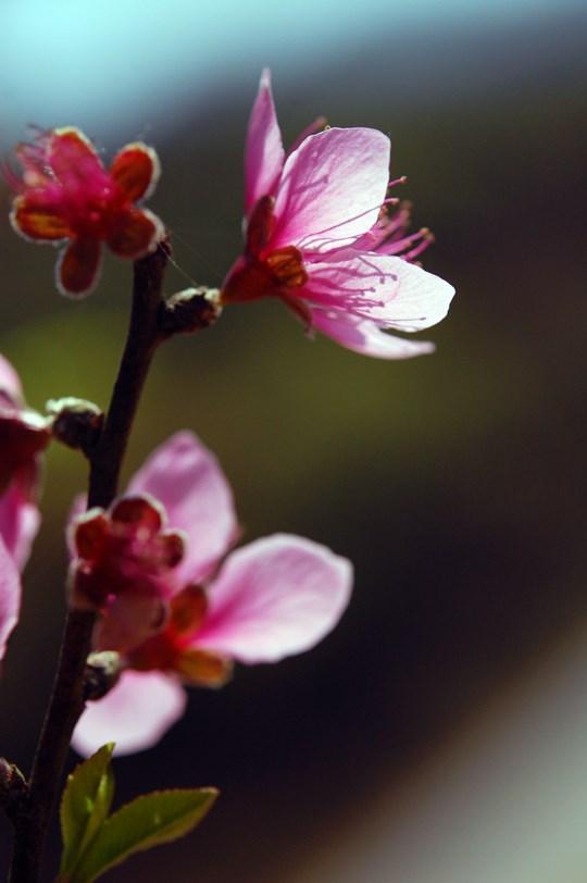 河内十二月份之十二花季 hinh anh 1
