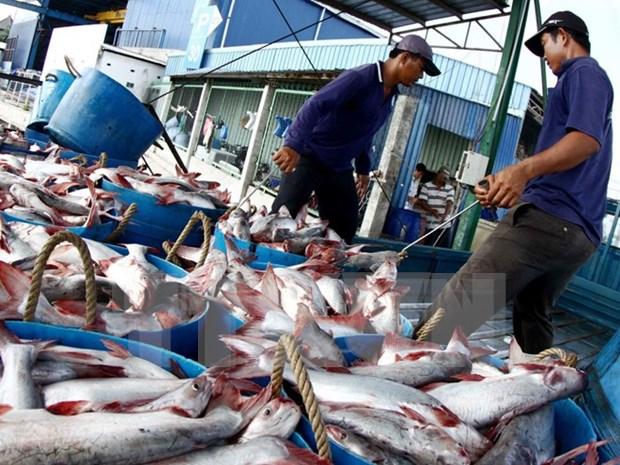 越南查鱼与巴沙鱼的养殖操作规程相当先进 hinh anh 1