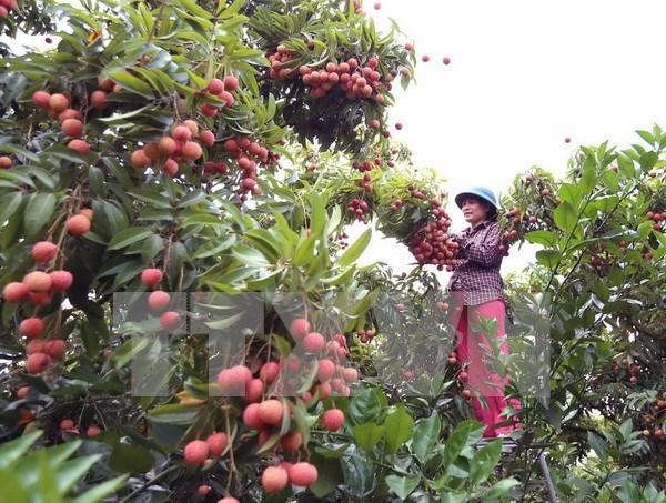 越南向澳大利亚出口10吨荔枝 hinh anh 1