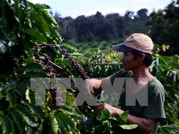 2016-2017年度全国咖啡产量或将减少 hinh anh 1