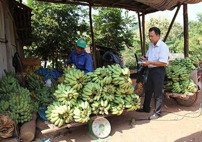 莱州省霍隆边境乡农民靠种植香蕉脱贫 hinh anh 1