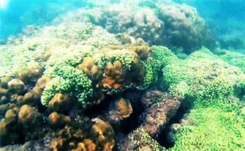 来昏果岛潜水观赏珊瑚礁 hinh anh 1