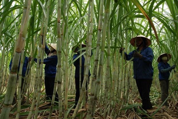 气候变化给越南蔗糖业带来挑战 hinh anh 1