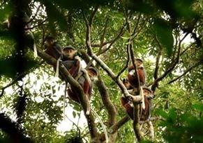 白臀叶猴被选为岘港市形象标志 hinh anh 1