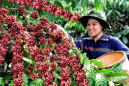 收获前夕西原地区咖啡豆价格猛增 hinh anh 1