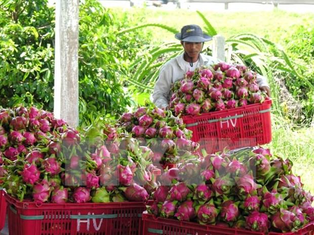 澳大利亚公布允许越南新鲜火龙果出口澳大利亚的评估报告草案 hinh anh 1