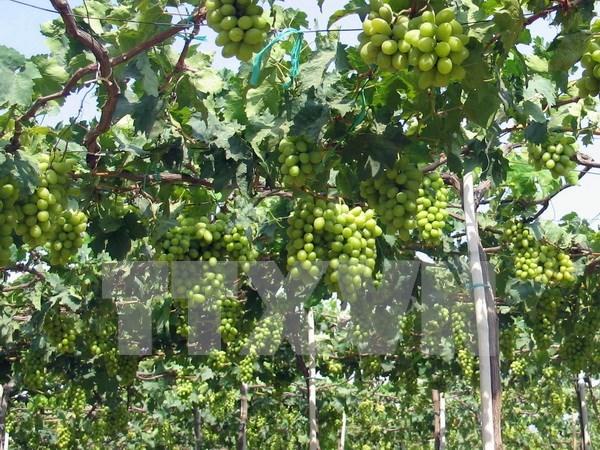 2016年宁顺葡萄与葡萄酒节将于本月底举行 hinh anh 1