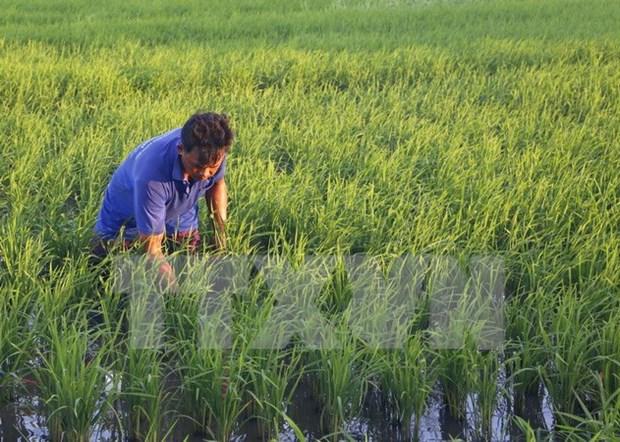 越南农业生产适应气候变化 hinh anh 1