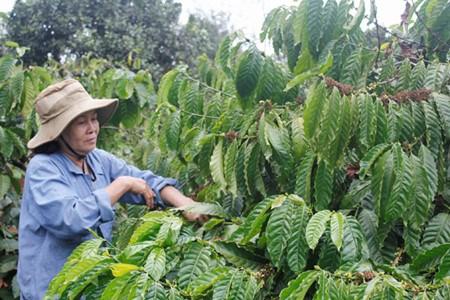 多乐省可持续生产咖啡 hinh anh 1
