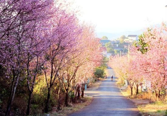 第一次大叻樱花节将于明年1月中旬举行 hinh anh 1