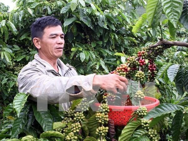 越南设定至2030年咖啡出口额达60亿美元的目标 hinh anh 1