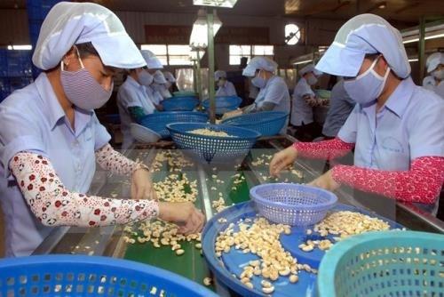 2016年越南腰果出口额有望达到创纪录的27亿美元 hinh anh 1