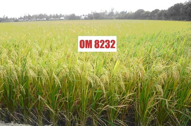 越南九龙江平原水稻研究院推出耐盐水稻新品种 hinh anh 1