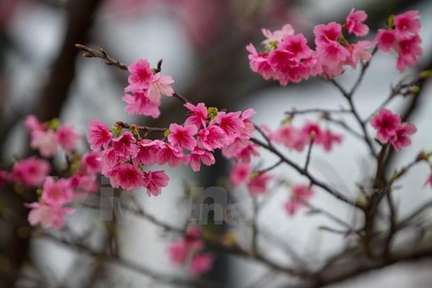 200棵日本樱花树将在河内市和平公园种植 hinh anh 1