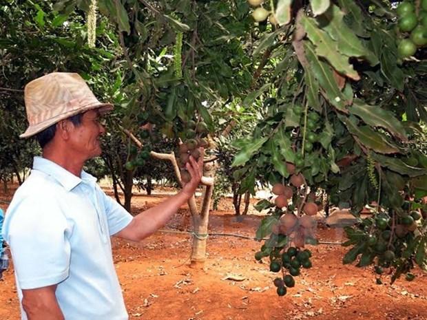 越南与澳大利亚加强合作推动坚果业发展 hinh anh 1