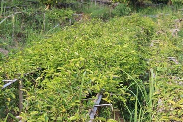 越南编制西原地区1657种药用植物名录 hinh anh 1